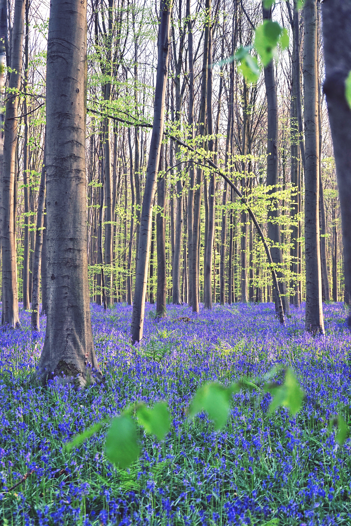 47 One of the most amazing natural phenomena in the world: spring in Flanders.